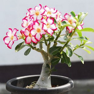 Desert Rose Adenium Obesum one year plant  baby size bonsai caudex from Lankui