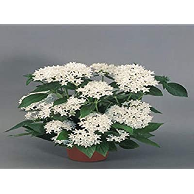 Organic 25 Seed Seeds Pentas New Look White Pentas Seeds Star Flower : Garden & Outdoor