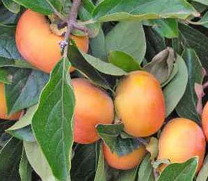 JIRO FUYU PERSIMMON JAPANESE FRUIT TREE GRAFTED Ships in Pot from MARTHAS SECRETS CANNOT SHIP TO CA, AZ, AK, HI, OR or WA per your State Laws by Martha's Secrets (Image #1)