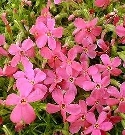Amazon.com : Red Creeping Phlox (2 potted plants per order ...