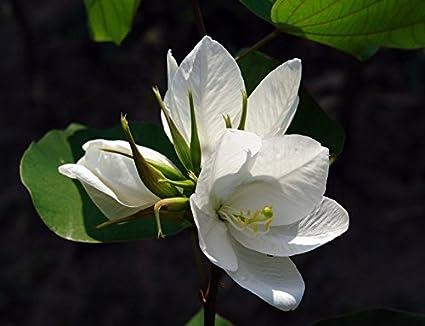 Creative Farmer Flower Seeds Mandaram Flower Kerala Garden Balcony