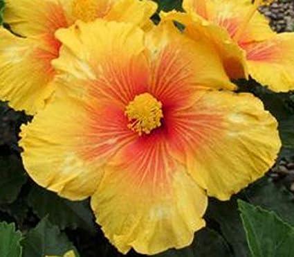 Amazoncom Rare Live Plant Exotic Hibiscus Tiki Bar Free Plant