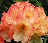 Rhododendron Seaview Sunset - Red, Yellow and Orange Blooms! (One Gallon)