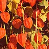 Physalis- Chinese Lanterns 50 Seeds