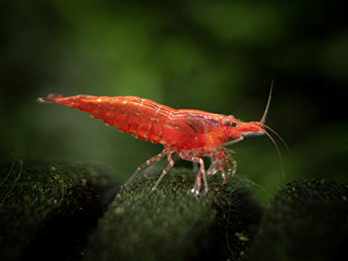 12 Live Sakura Red Cherry Shrimp (Neocaridina davidi) - Breeding Age Young Adults at 1/2 to 1 Inch Long by Aquatic Arts