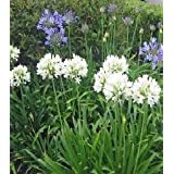 Agapanthus (Lily Of The Nile) praecox Getty White 250 seeds