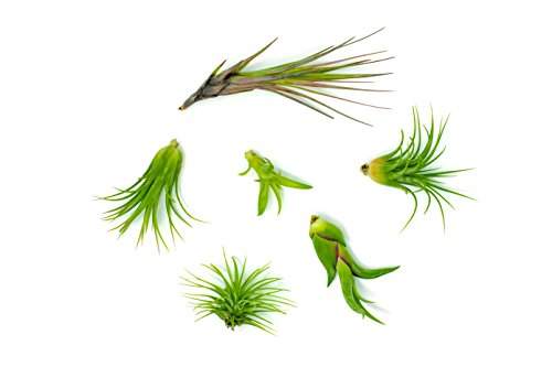 Cheap  6 Air Plant Variety Pack - Small Tillandsia Terrarium Kit - Assorted..
