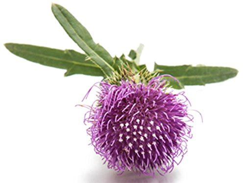 Burdock Seeds Grow Edible Arctium Lappa Herb Homeopathy #158 (50 Seeds, or 1 ()