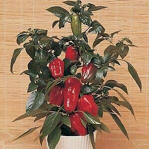 Details About Pepper RedSkin Sweet Red (Patio) 1,000 Seeds Need More? Ask (Redskin Pepper Patio)