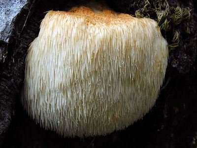 Ready to Grow Mushroom Log - Lions Mane Mushroom Perfect Plants ®