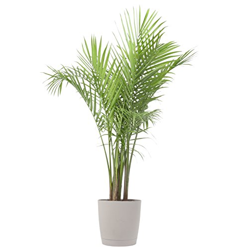 Costa Farms, Premium Live Indoor Majesty Palm, Ravenea rivularis, Floor Plant, 10-Inch Gray-Taupe Decorator Planter, Shipped Fresh From Our Farm, Excellent Gift