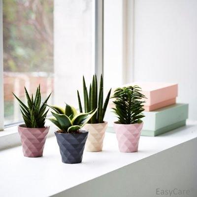 Christmas Succulent Gift.Christmas Succulents 4 Plant Gift Set Trendy Pastel