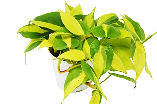 Philodendron Hederaceum 'Brasil' - Live Indoor House Plant - FREE Care Guide - 4'' Pot by House Plant Shop