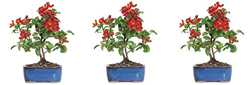 Brussel's Live Japanese Red Quince Outdoor Bonsai Tree - 3 Years Old; 10'' to 12'' Tall with Decorative Container (3-(Pack))