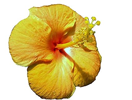 Amazon com : Tangerine Dream Tropical Hibiscus Live Plant Single