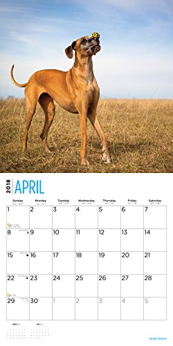 Great Danes 2018 16 Month Wall Calendar 12 x 12 inches Bright Day Calendars Publishing Photo #2
