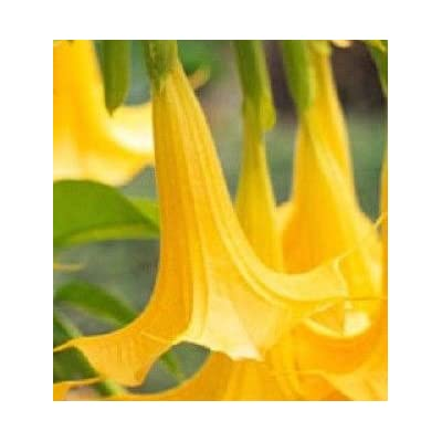 Yellow/Orange Angel Trumpet Brugmansia Fragrant Flowering Potted Plant, Starter Plant : Garden & Outdoor