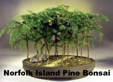 Attractive Amazoncom Norfolk Island Pine The Indoor Christmas Tree 6 Amazing Ideas