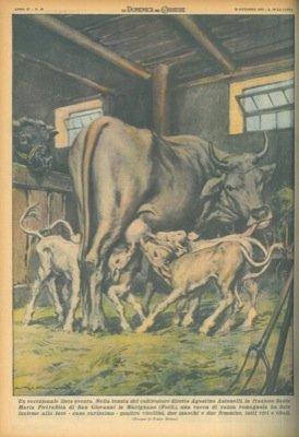 AS. Giovanni Marignano, vacca di razza romagnola ha dato insieme alla luce quattro vitellini tutti vivi e vitali.