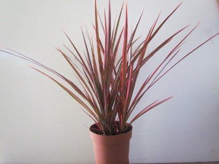 dracaena marginata colorama tri color dragon tree houseplant from jm bamboo