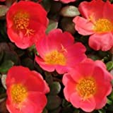 Outsidepride Purslane Toucan Scarlet - 100 Seeds