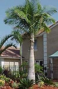 41WcEyRnXTL._SY300_QL70_ Majesty Palm House Plant on majesty palm soil, majesty palm plant, majesty palm hedge, majesty palm fertilizer, majesty palm tree, majesty palm leaves, majesty palm flower, majesty palm family, majesty palm indoor,