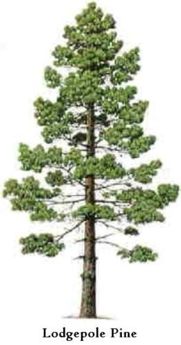 Lodgepole Pine Tree Seeds (100) (Lodgepole Pine Furniture)