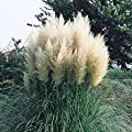 (3 Gallon) Pampas Grass (White) - Graceful White Plumes On Wispy Green Grass, Elegant In Any Landscape.