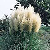 (2 Gallon) Pampas Grass (White) - Graceful White Plumes On Wispy Green Grass, Elegant In Any Landscape.