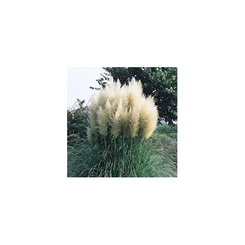 (3 Gallon) Pampas Grass (White) - Graceful White Plumes On Wispy Green Grass, Elegant In Any Landscape. free shipping
