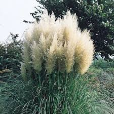 (5 Gallon) Pampas Grass (White) - Graceful White Plumes On Wispy Green Grass, Elegant in Any Landscape.