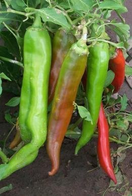 David's Garden Seeds Pepper Hot Big Jim D132PEP (Red to Black) 50 Organic Seeds