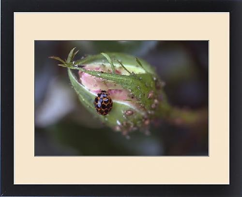 Framed Print Of Common Spotted Ladybird  Harmonia Conformis
