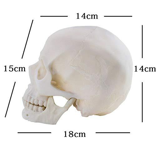 Aprodite 1:1 Replica realistica a forma di teschio umano in resina a grandezza naturale