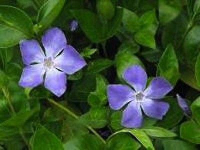 15-vinca-vine-plants-greater-periwinkle-evergreen-ground-cover-perennial