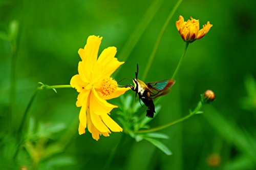Bumble Bee Moth Sipping Nectar From Wildflower-Fine Art Photography to Brighten Any Room-Various Sizes (Sipping Nectar)