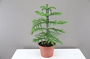 fantastic living christmas tree for life norfolk island pine araucaria hetrophylla indoor evergreen - Small Live Christmas Trees In Pots