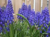 25 GRAPE HYACINTH MUSCARI Flower Seeds