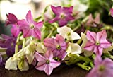 David's Garden Seeds Flower Nicotiana Scentsation Mix (Multi) 500 Non-GMO, Heirloom Seeds