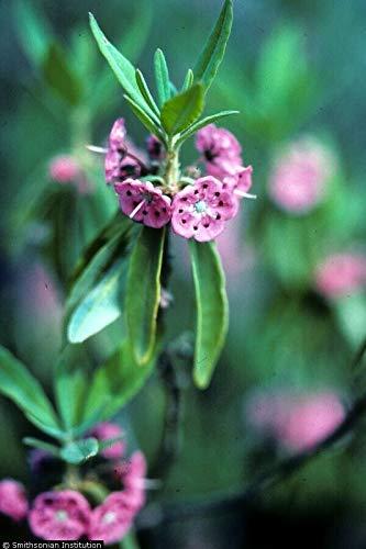North Sheep Mountain Laurel Kaimia angustifolia L Fragrant Pink Blooming - Shrubs Mountain Laurel