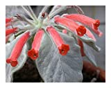 Sinningia leucotricha - Brazilian Edelweiss - 15 seeds