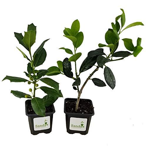 Sandys Nursery Online Ilex Evergreen Shrub, Nellie R Stevens Holly, Lot of 15, 3 Inch Pot + August Beauty White Gardenia Starter Plant (Ilex Nellie R Stevens Evergreen Holly Shrub)