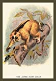 Paper poster printed on 20 x 30 stock. Javan Slow Loris