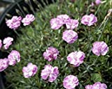 Tiny Rubies Dianthus - Fragrant/Hardy Groundcover - Quart Pot