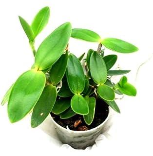 Cattleya Hybride Dahlenburg 1 blühfähige Orchidee der Sorte 15cm Topf