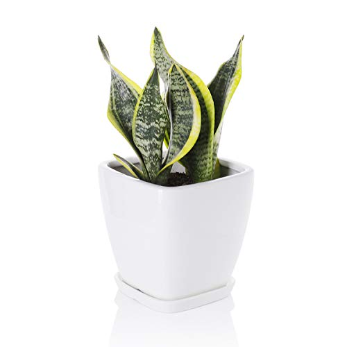 Greenaholics Succulent Pot - 5.1 Inch Square Ceramic Planter with Saucer, Flower Pot for Indoor Plant, with Drainage Hole, White (Best Indoor Trees For Oxygen)
