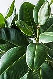 Aquatic Arts Fiddle Leaf Fig Tree Fertilizer