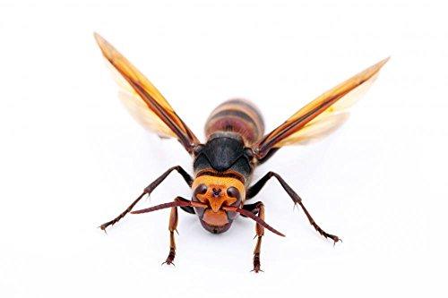 wallmonkeys-asian-giant-hornet-peel-and-stick-wall-decals-wm177801-24-in-w-x-16-in-h