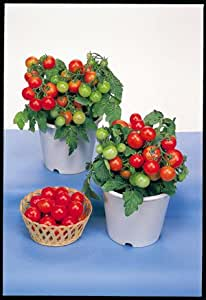 Red Robin Cherry Tomato - 20 Seeds