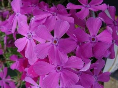 Classy Groundcovers - Phlox 'Drummond's Pink' Creeping Phlox, Moss Phlox {25 Pots - 3 1/2 in.} by Classy Groundcovers (Image #6)